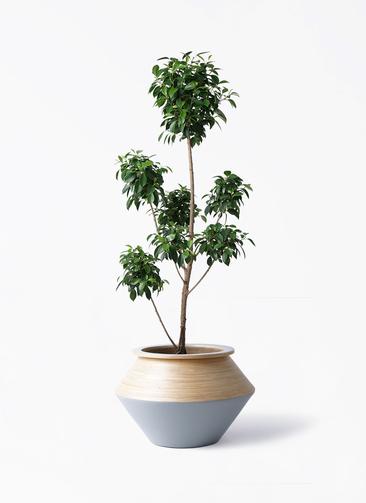 観葉植物 フィカス ナナ 7号 ボサチラシ アルマジャー グレー