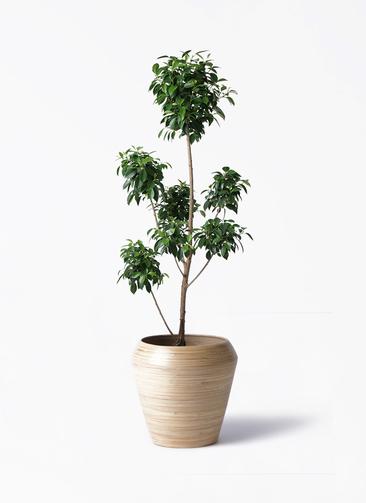 観葉植物 フィカス ナナ 7号 ボサチラシ アルマ ミドル 付き