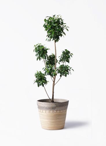 観葉植物 フィカス ナナ 7号 ボサチラシ アルマ コニック 白 付き