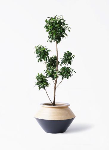 観葉植物 フィカス ナナ 7号 ボサチラシ アルマジャー 黒