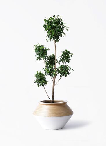 観葉植物 フィカス ナナ 7号 ボサチラシ アルマジャー 白