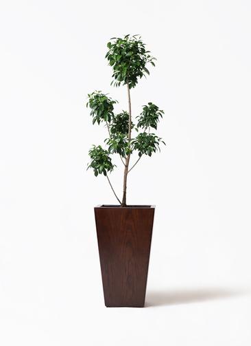 観葉植物 フィカス ナナ 7号 ボサチラシ MOKU スクエア 付き