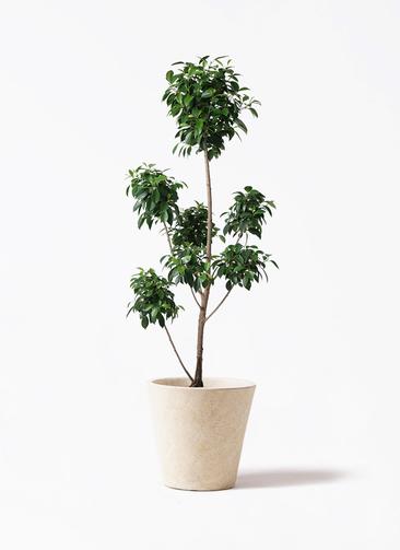 観葉植物 フィカス ナナ 7号 ボサチラシ フォリオソリッド クリーム 付き