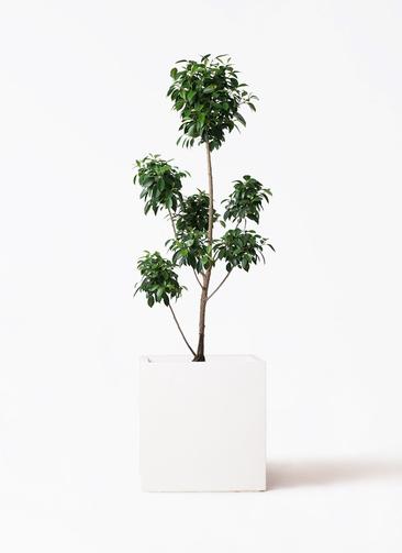 観葉植物 フィカス ナナ 7号 ボサチラシ バスク キューブ 付き
