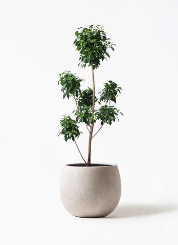 観葉植物 フィカス ナナ 7号 ボサチラシ テラニアス ローバルーン アンティークホワイト 付き
