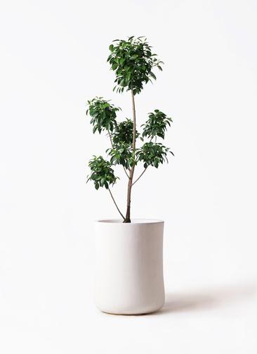 観葉植物 フィカス ナナ 7号 ボサチラシ バスク ミドル ホワイト 付き