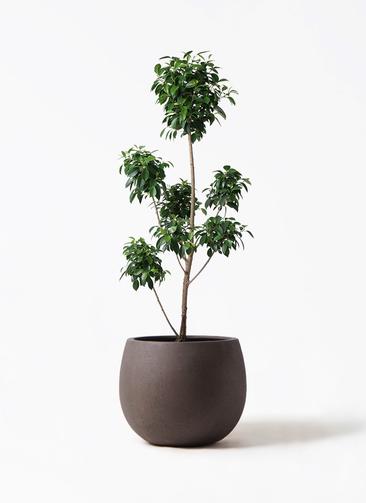 観葉植物 フィカス ナナ 7号 ボサチラシ テラニアス ローバルーン アンティークブラウン 付き