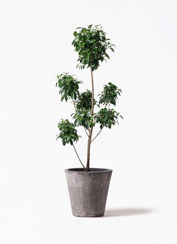 観葉植物 フィカス ナナ 7号 ボサチラシ フォリオソリッド ブラックウォッシュ 付き