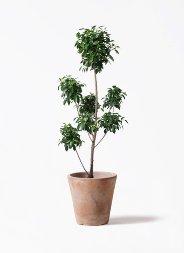 観葉植物 フィカス ナナ 7号 ボサチラシ ルーガ アンティコ ソリッド 付き