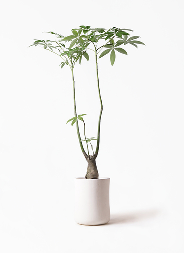 観葉植物 パキラ 8号 パラソル バスク ミドル ホワイト 付き