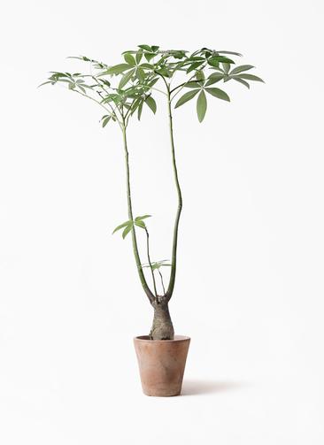 観葉植物 パキラ 8号 パラソル ルーガ アンティコ ソリッド 付き