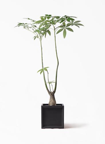 観葉植物 パキラ 8号 パラソル ブリティッシュキューブ 付き