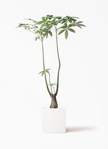 観葉植物 パキラ 8号 パラソル バスク キューブ 付き