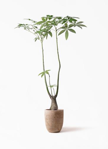 観葉植物 パキラ 8号 パラソル ルーガ アンティコ アルトエッグ 付き