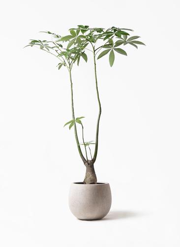 観葉植物 パキラ 8号 パラソル テラニアス ローバルーン アンティークホワイト 付き