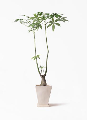 観葉植物 パキラ 8号 パラソル スクエアハット 白 付き