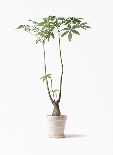 観葉植物 パキラ 8号 パラソル サバトリア 白 付き