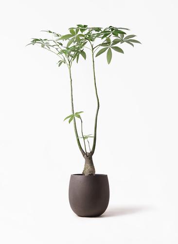 観葉植物 パキラ 8号 パラソル テラニアス バルーン アンティークブラウン 付き