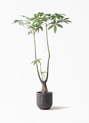 観葉植物 パキラ 8号 パラソル カルディナダークグレイ 付き