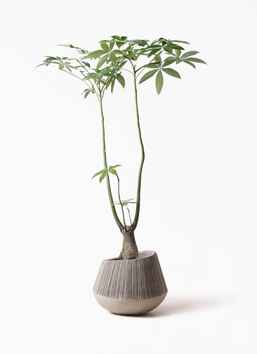 観葉植物 パキラ 8号 パラソル エディラウンド グレイ 付き