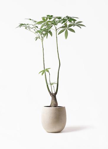 観葉植物 パキラ 8号 パラソル テラニアス バルーン アンティークホワイト 付き