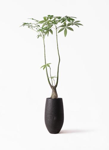 観葉植物 パキラ 8号 パラソル フォンティーヌトール 黒 付き