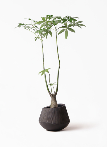 観葉植物 パキラ 8号 パラソル エディラウンド 黒 付き