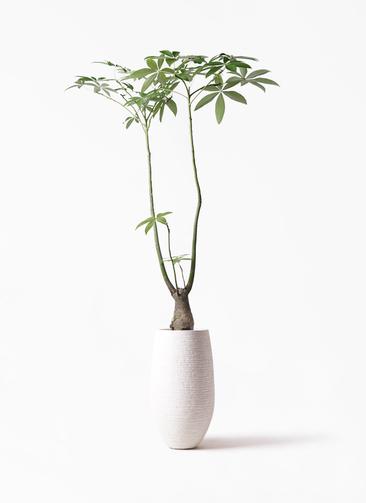 観葉植物 パキラ 8号 パラソル フォンティーヌトール 白 付き