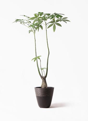 観葉植物 パキラ 8号 パラソル ジュピター 黒 付き