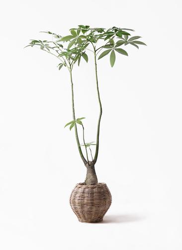 観葉植物 パキラ 8号 パラソル グレイラタン 付き