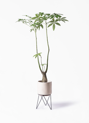 観葉植物 パキラ 8号 パラソル ビトロ エンデカ 鉢カバースタンド付 クリーム 付き