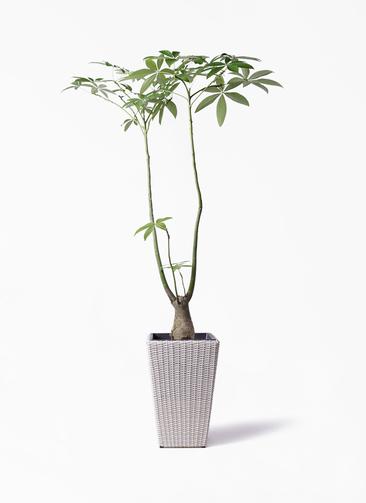 観葉植物 パキラ 8号 パラソル ウィッカーポット スクエアロング OT 白 付き