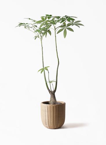 観葉植物 パキラ 8号 パラソル ウィッカーポットエッグ ベージュ 付き