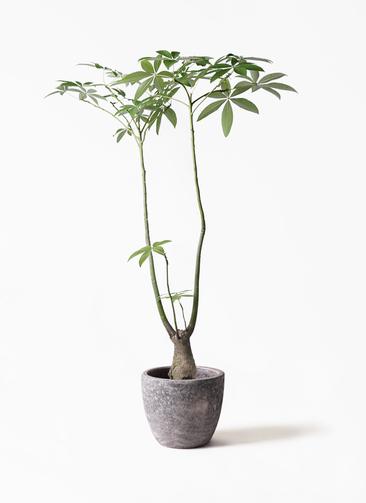 観葉植物 パキラ 8号 パラソル アビスソニアミドル 灰 付き
