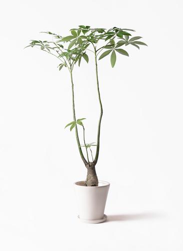 観葉植物 パキラ 8号 パラソル サブリナ 白 付き
