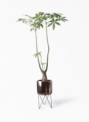 観葉植物 パキラ 8号 パラソル ビトロ エンデカ ゴールド アイアンポットスタンド ブラック 付き