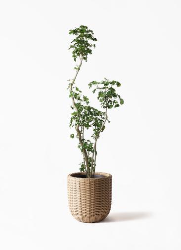 観葉植物 ポリシャス 8号 ウィッカーポットエッグ ベージュ 付き