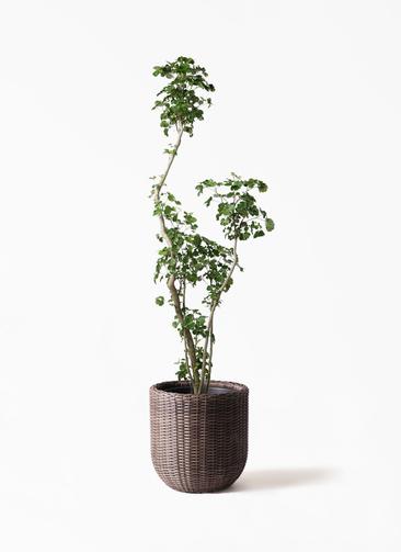 観葉植物 ポリシャス 8号 ウィッカーポットエッグ 茶 付き