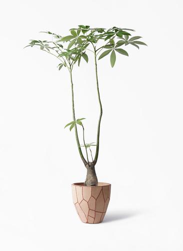 観葉植物 パキラ 8号 パラソル ウィスク付き