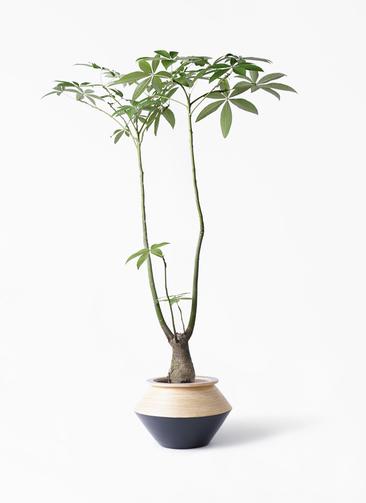 観葉植物 パキラ 8号 パラソル アルマジャー 黒