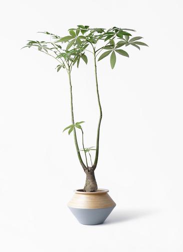 観葉植物 パキラ 8号 パラソル アルマジャー グレー