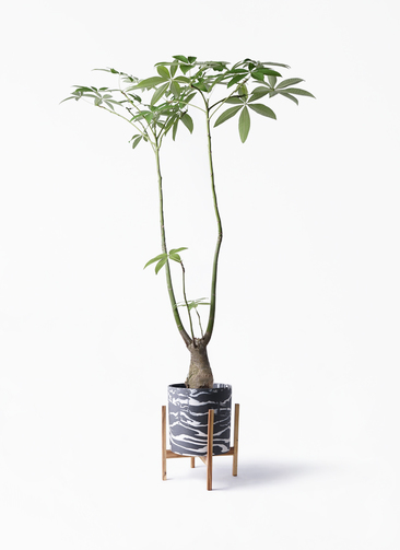 観葉植物 パキラ 8号 パラソル ホルスト シリンダー マーブル ウッドポットスタンド付き