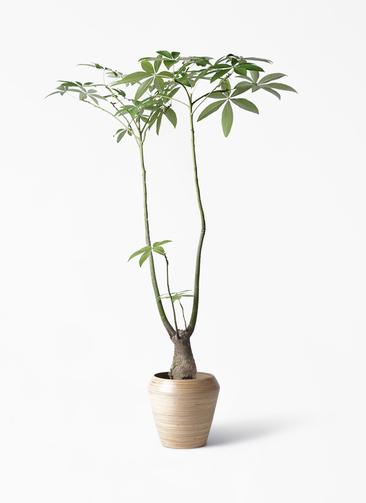 観葉植物 パキラ 8号 パラソル アルマ ミドル 付き