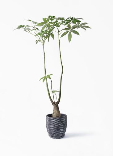 観葉植物 パキラ 8号 パラソル ハイブミドル ブラック 付き