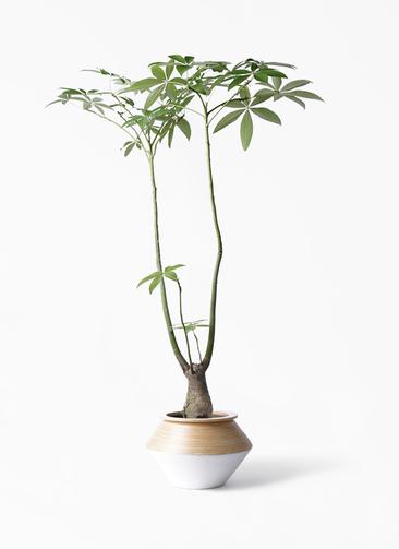 観葉植物 パキラ 8号 パラソル アルマジャー 白