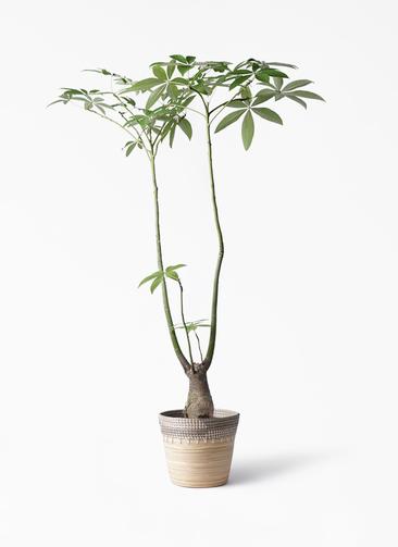 観葉植物 パキラ 8号 パラソル アルマ コニック 白 付き