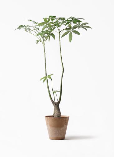 観葉植物 パキラ 8号 パラソル アートストーン ラウンド ベージュ 付き