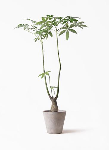 観葉植物 パキラ 8号 パラソル アートストーン ラウンド グレー 付き