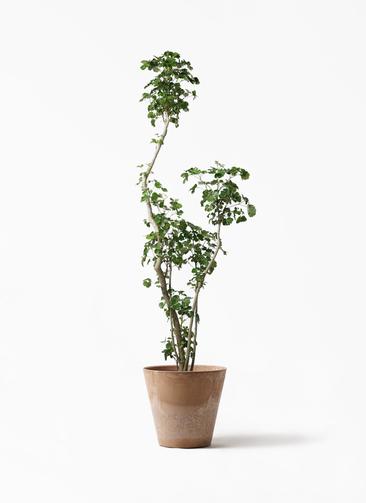 観葉植物 ポリシャス 8号 アートストーン ラウンド ベージュ 付き