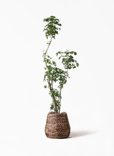 観葉植物 ポリシャス 8号 リゲル 茶 付き